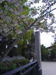 桜と狛犬.jpg